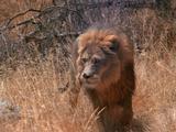 Male Lion Walking Through Grass