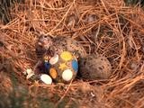 Baby Tern Hatching From Egg