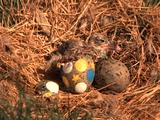 Baby Tern Hatching From Egg, Person Helps