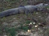 Adult And Newly Hatched Alligators