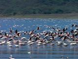 Flamingos, Some Take Flight