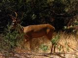 Deer Walks Through Grass, Brush