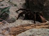 Tarantula Crawls