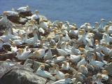 Flock Of Gannets On Cliffside