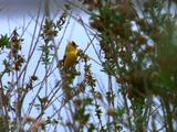 Small Bird In Tree, Possibly An American Goldfinch