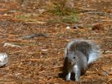 Squirrel Runs Along Ground