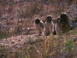 Burrowing Owl With Chicks At Nest