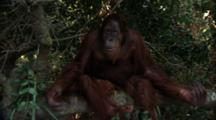 Orangutan  Sits On Tree Branch, Makes Faces, Claps Hands