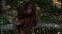 Orangutan  Sits On Tree Branch