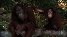 Adult And Juvenile Orangutans Interact On Tree Branch
