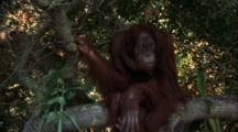 Orangutan Walks On Tree Branch