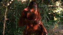 Orangutan Walks And Displays