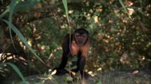 Capuchin Monkey In Tree