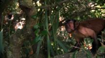 Capuchin Monkey Leaps From Tree