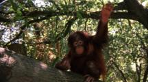 Orangutan  Juvenile Climbs On Branch, Makes Faces