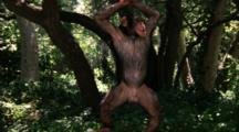 Chimpanzee Makes Faces, Takes Bow, Does Back Flip