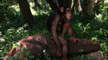 Chimpanzee Stock Footage