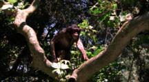 Chimpanzee Climbs In Tree