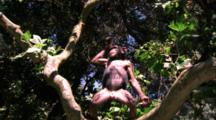 Chimpanzee Climbs In Tree, Throws Something