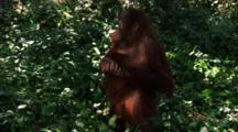 Orangutan  Juvenile Walks, Makes Faces