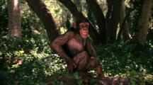 Chimpanzee Walks In Forest