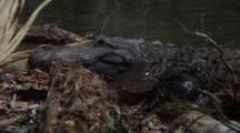 Alligators Exits Water, Close-Up Of Head