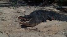 Agitated Alligator On Shore Thrashes Head