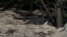 Agitated Alligator On Shore, Mouth Open Wide