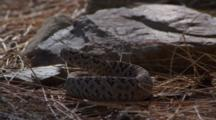Rattlesnake In Defense Against Roadrunner