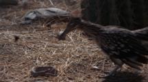 Roadrunner Attacks Rattlesnake