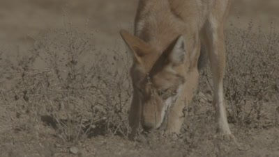 Ethiopian wolf - Canis simensis - hunting/eating gras rat and playing with other wolf