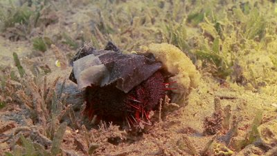 Collector urchin covering it self with plastic