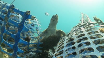 Hawksbill turtle on plastic net
