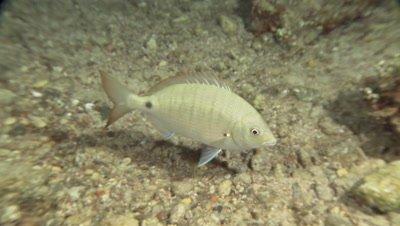 Arabian pinfish (bream) swim near bottom at night