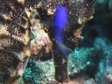 Seahorse Cleaned By Damselfish