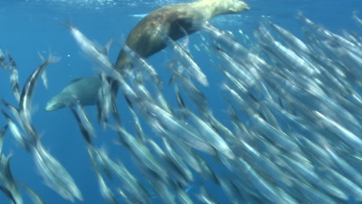 Marlins And Sealions Hunting Sardines.