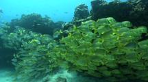 Yellow Snapper And Porkfish Schools