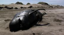Dead Pilot Whale Beached