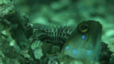 Blue-Spotted Jawfish watching from the shelter