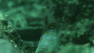 Blue-Spotted Jawfish at the shelter