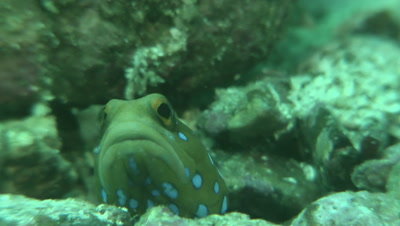 Blue-Spotted Jawfish peeking from the shelter