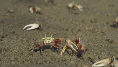 Fiddler crab males fight over territory