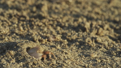 Fiddler crab cleans his claw and starts display