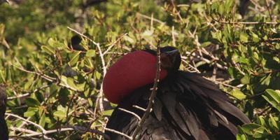 Magnificent frigatebird courtship