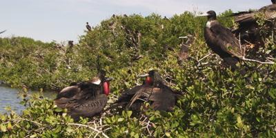 Magnificent frigatebirds after mating