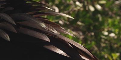 Close up of plumage of Magnificent frigatebird male