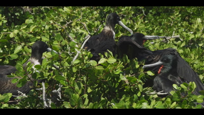 Magnificent frigatebird nesting colony