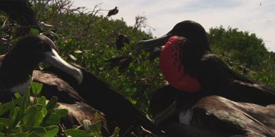 Magnificent frigatebird territorial fight close up