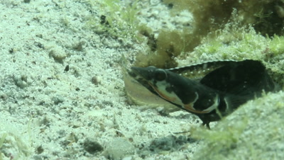 Orangethroat Pikeblenny fighting for territory