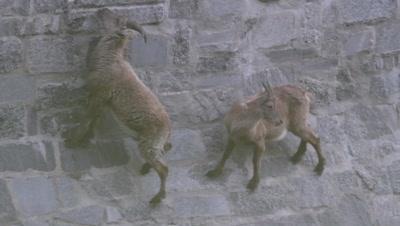 Alpine ibex ( Capra ibex ) climbing / walking on vertical dam wall